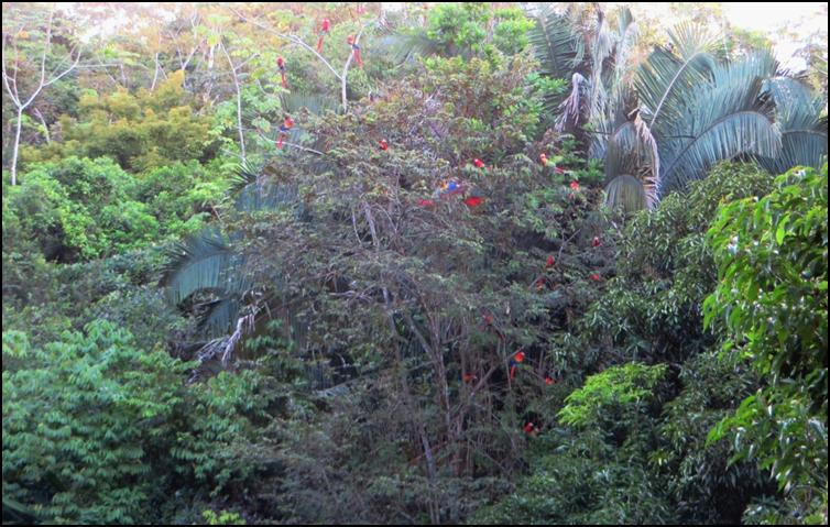 Tree full of scarlet macaws