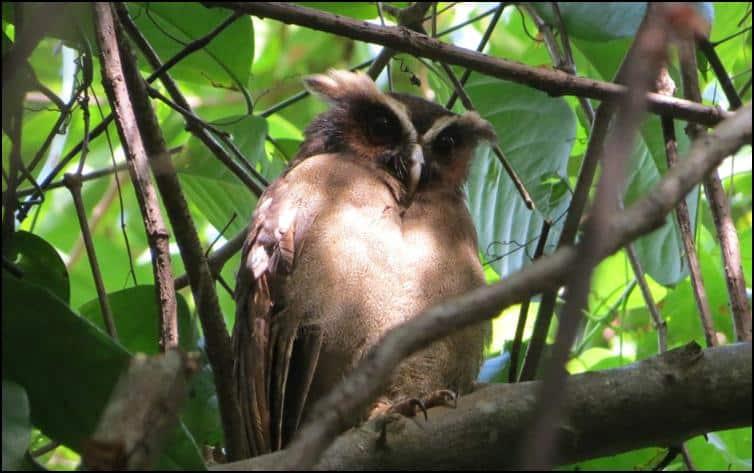 Owl species