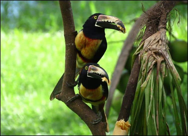 Unidentified toucan