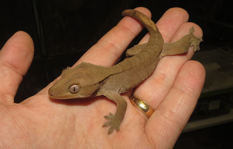 Plain brown Crested Gecko