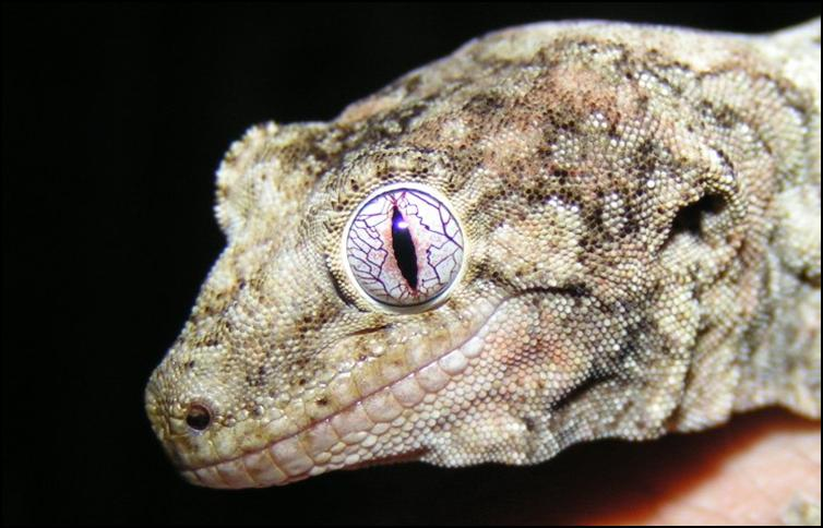 Close-up of Chahoua eye