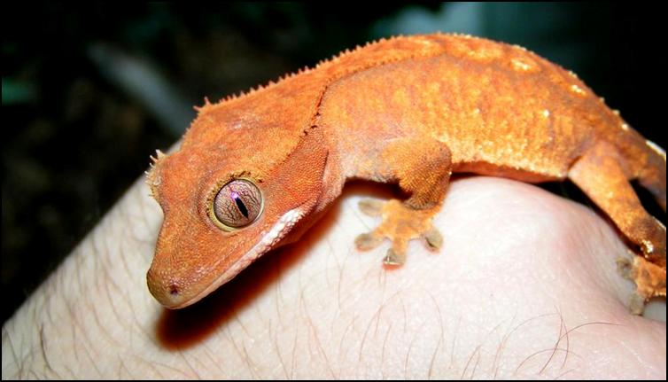 Colour & pattern variation in Crested Geckos