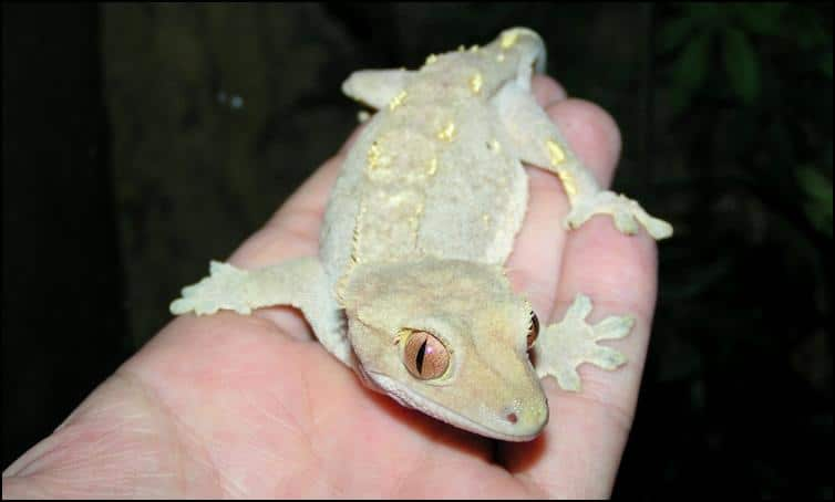'Fired down' colours of Crested Gecko