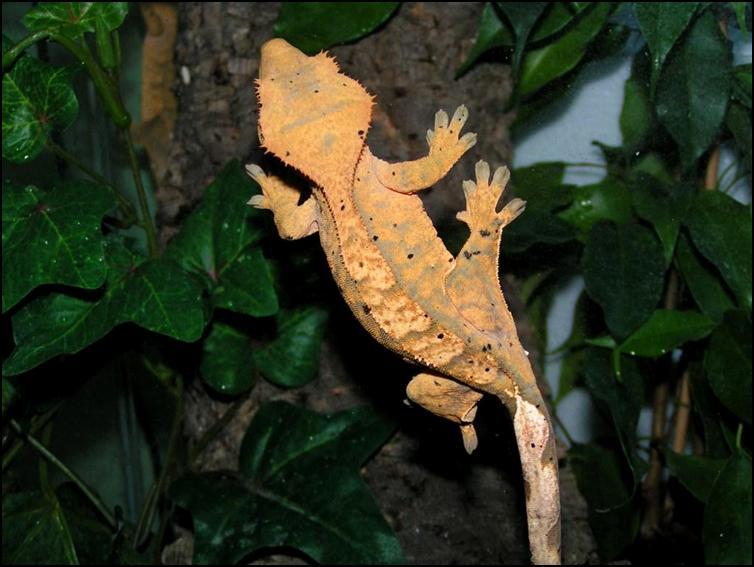 'Harlequin' patterned Crested Gecko