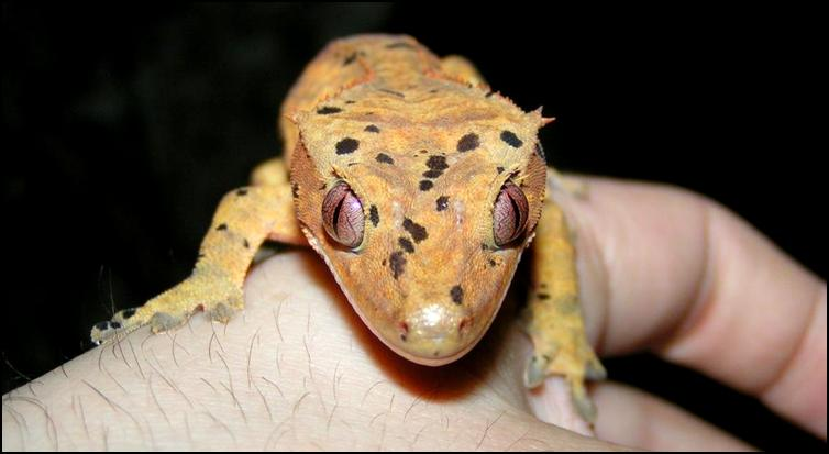 Splodge the Crested Gecko
