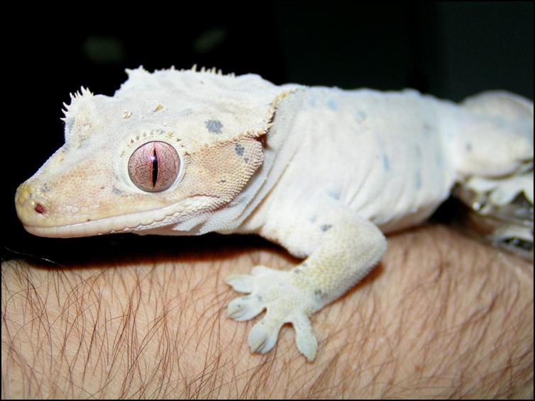 Crested Gecko in early stages of moulting