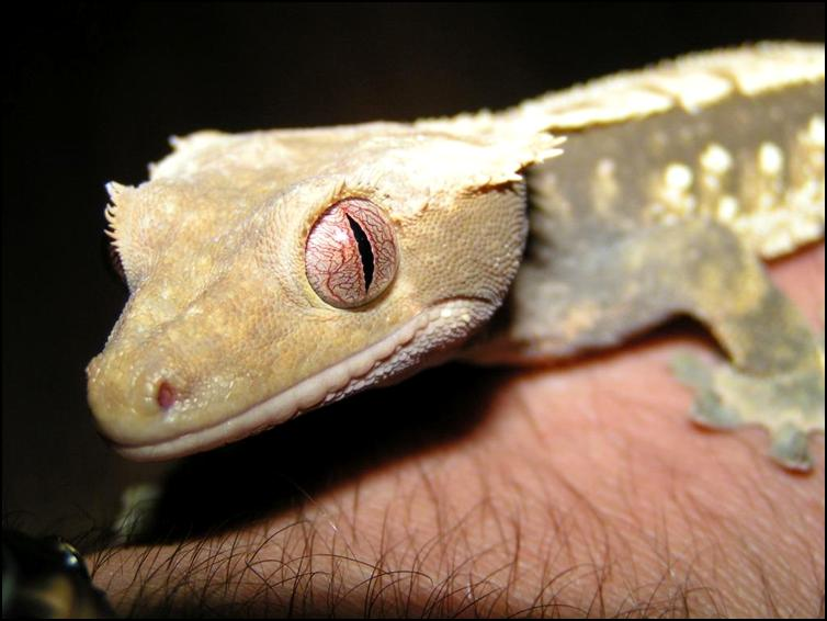 Crested Geckos eye