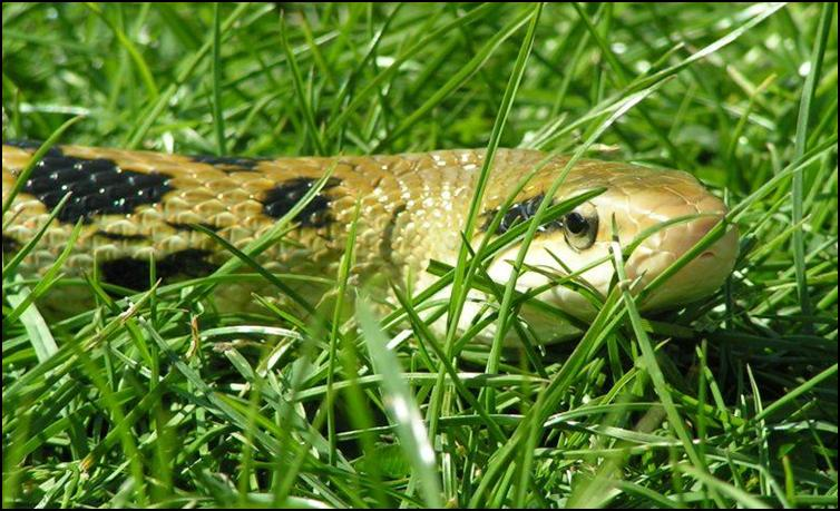 Taiwanese Beauty Snake in the grass