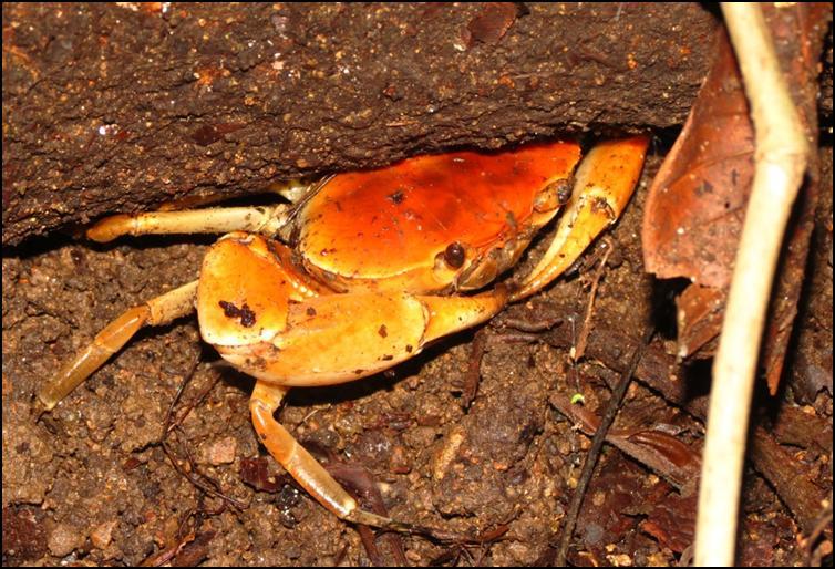 Large orange land crab