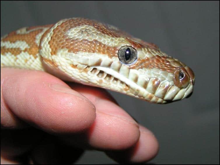 Close-up of Centralian Python head