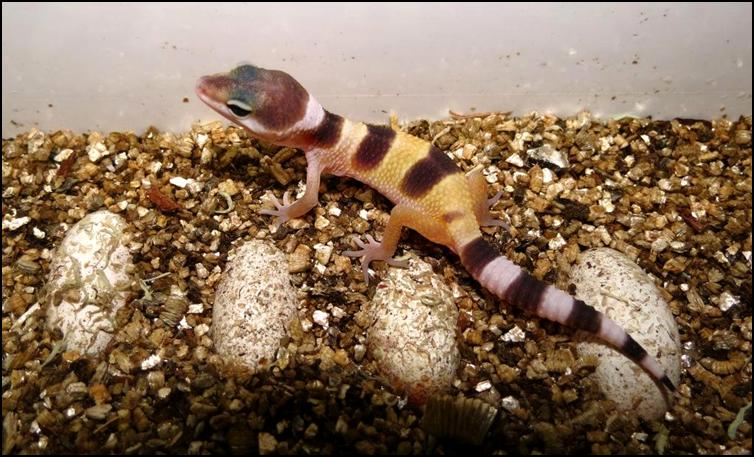 Just hatched Leopard Gecko