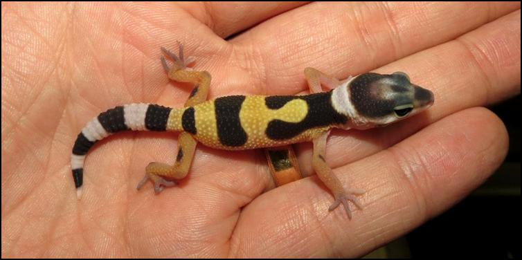 Variable colours in baby Leopard Geckos