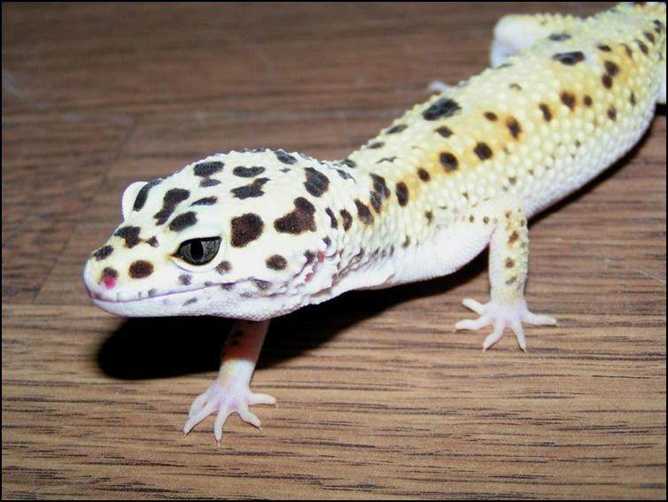 Leopard Gecko claws