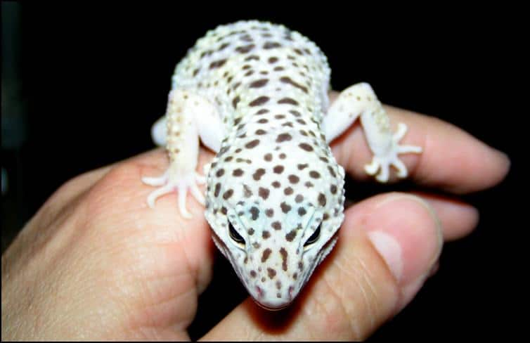Gizmo the Leopard Gecko