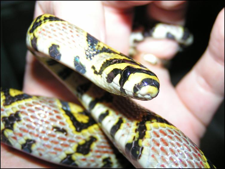 Head view of Mandarin Rat Snake