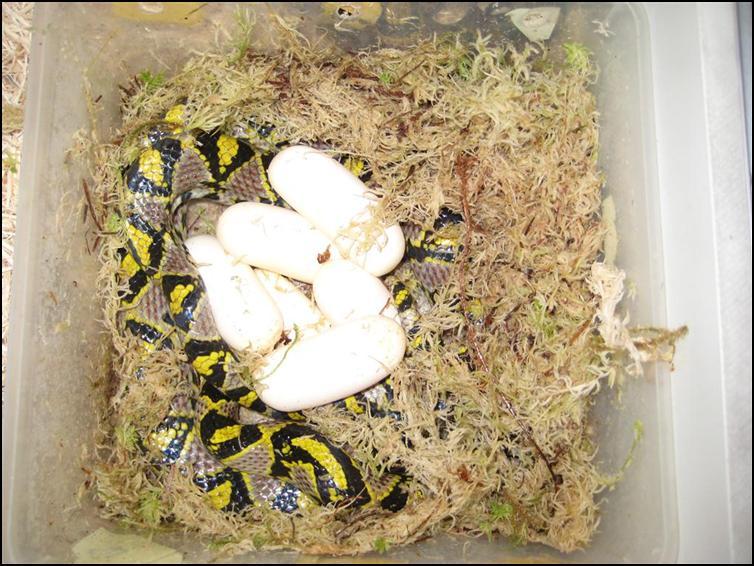 Mandarin Rat Snake eggs