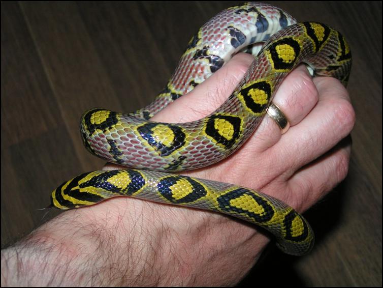Mandarin Rat Snake