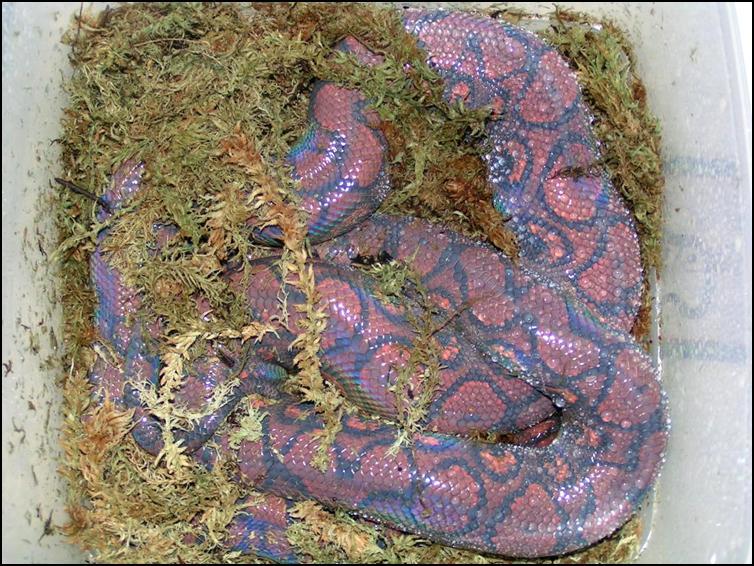 Brazilian Rainbow Boa preparing to shed it's skin