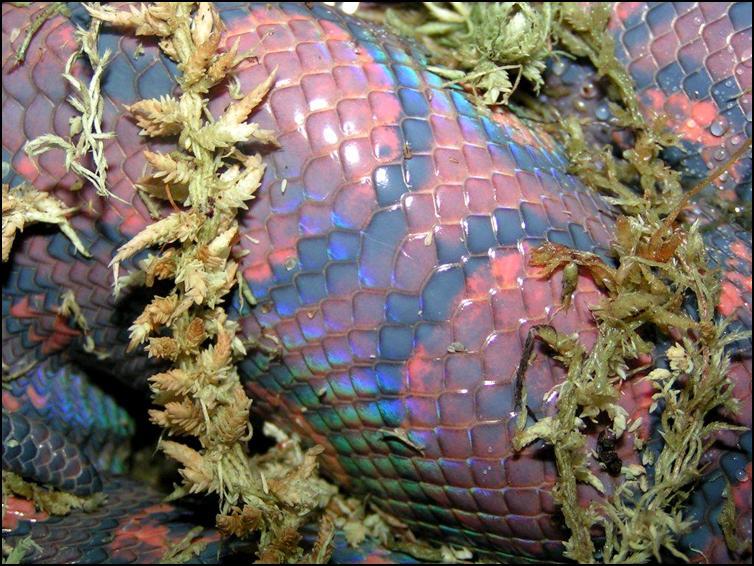 Close up of Brazilian Rainbow Boa preparing to shed it's skin