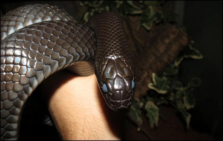 Shedding Mexican Black King Snake