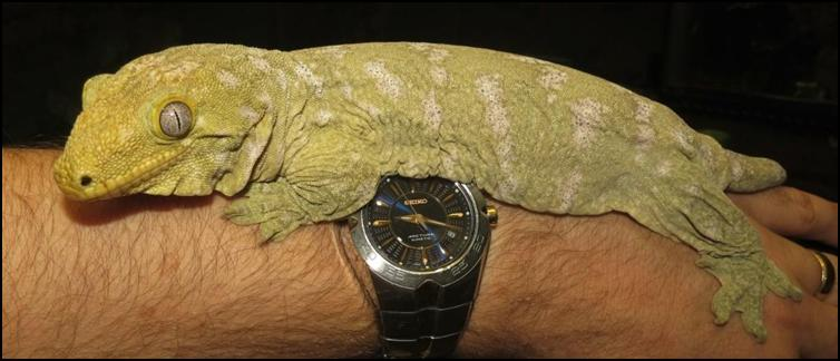 New Caledonian Giant Gecko resting on Jonathan's arm