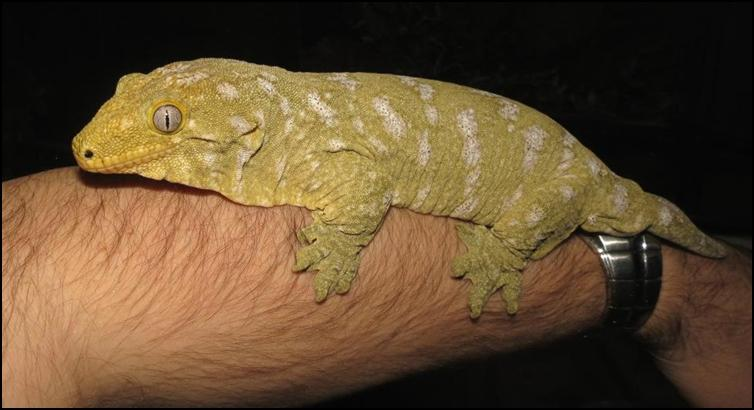 Colour variation of the New Caledonian Giant Gecko
