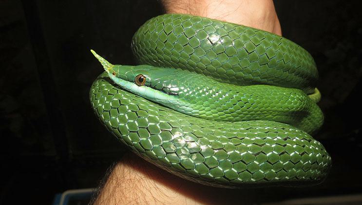 Male rhinoceros rat snake