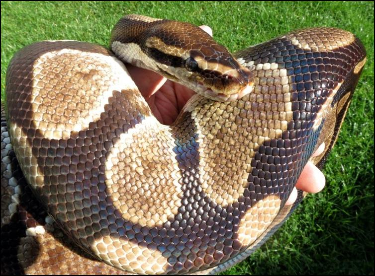 Rafiki the royal python