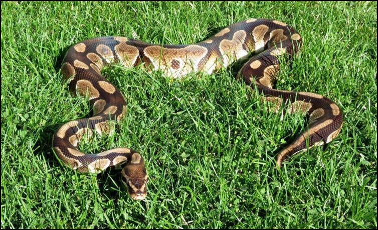 Rafiki the royal python in the garden