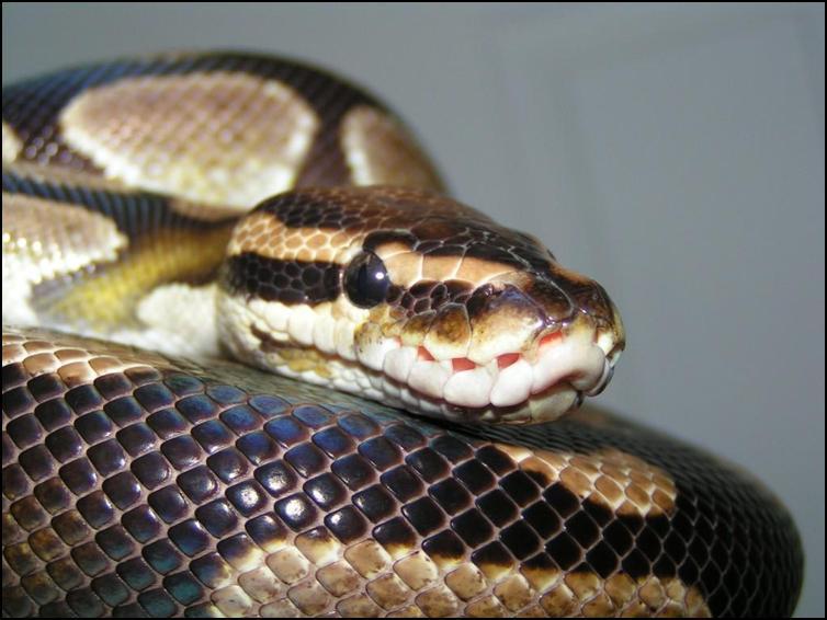 Close up of a royal python