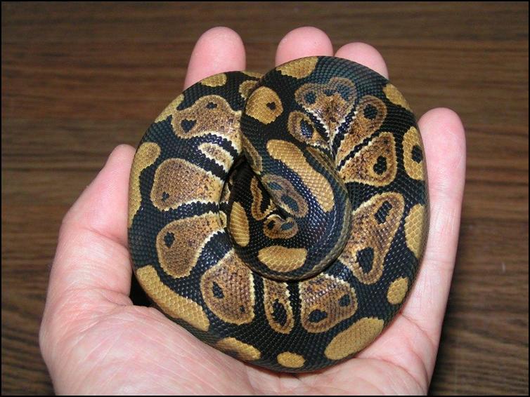 Curled up royal / ball python