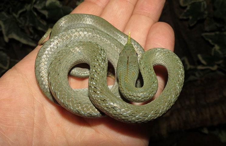 Maturing rhinoceros rat snake Rhynchophis boulengeri