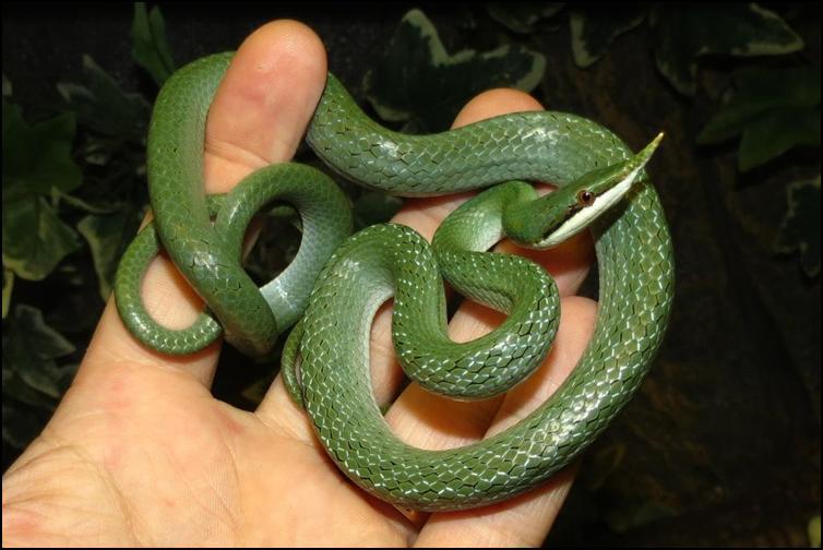 Coiled rhinoceros rat snake