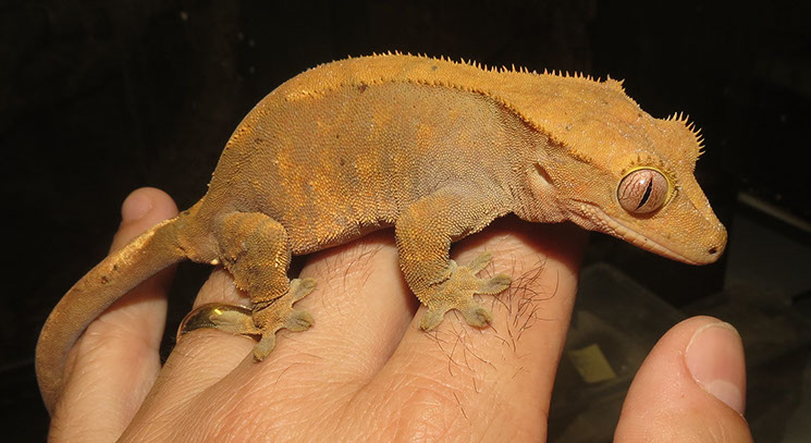 Rusty the Crested Gecko