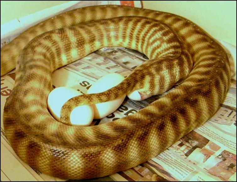 Woma laying eggs