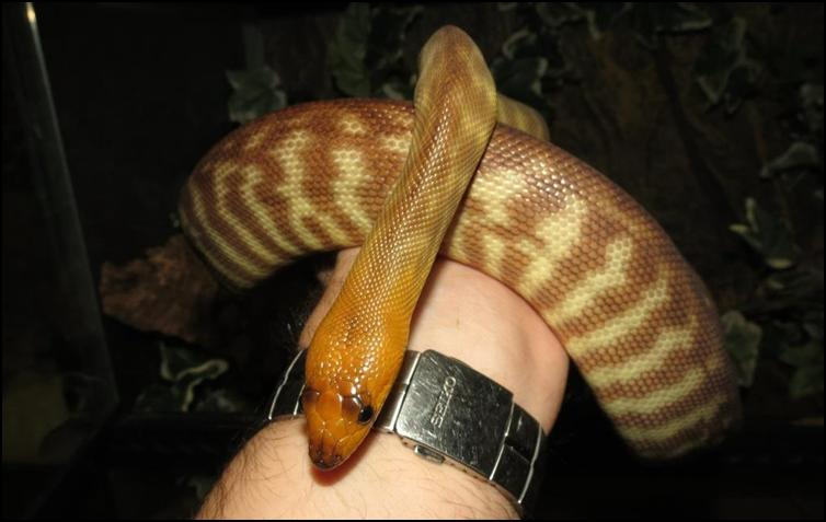 Adult male Woma