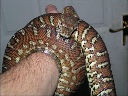 Irwin the centralian python