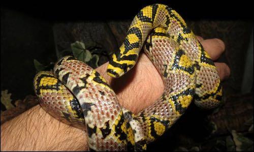Mei-Ling the mandarin rat snake
