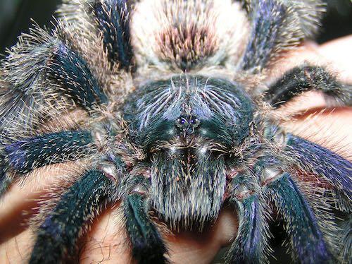 Peruvian Pinktoe Tarantulas