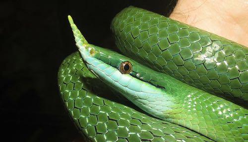 Meet the Rhinoceros rat snakes