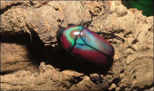 Purple Jewel Beetles