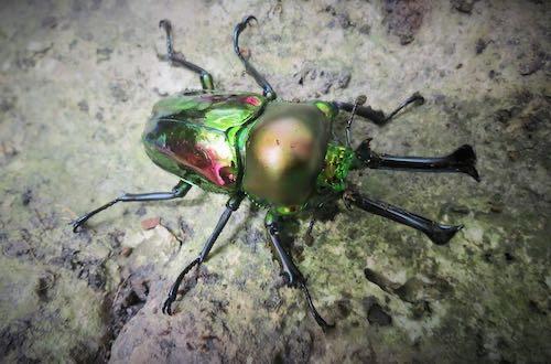 Rainbow Stag Beetles