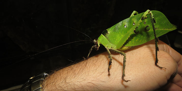 Long antennae of Ancyclecha fenestrata