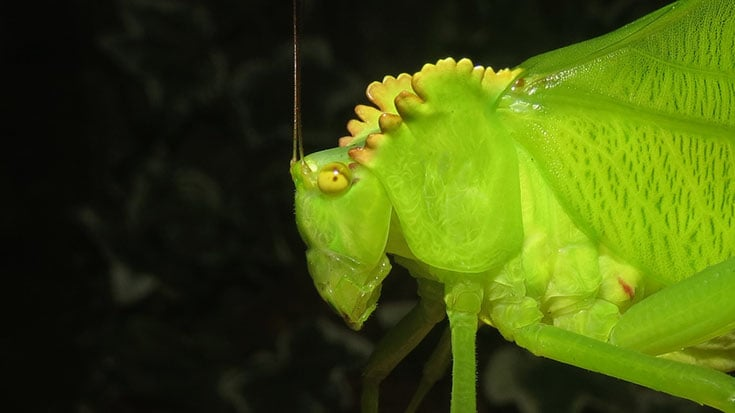 Close-up of adult Cnemidophyllum citrifolium