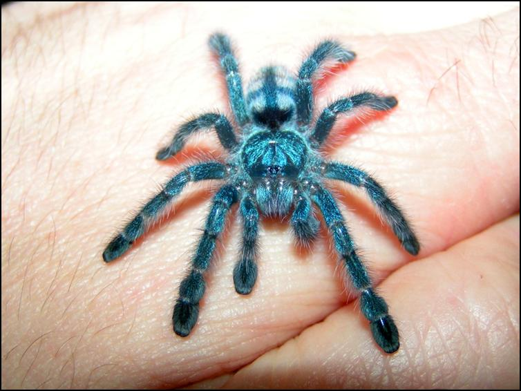 Antilles Pink Toes Tarantula