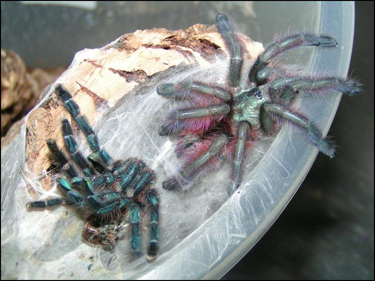 Antilles Pink Toes Tarantula with old exoskeleton
