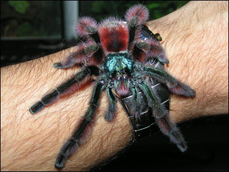 Male Antilles Pink Toes Tarantula