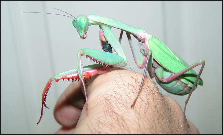 Australian King Mantis