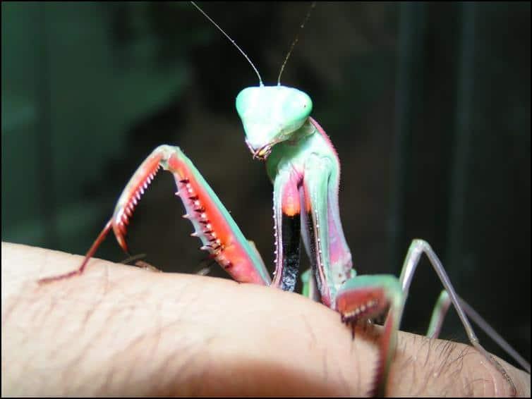 Spines on front legs of Australian King Mantis