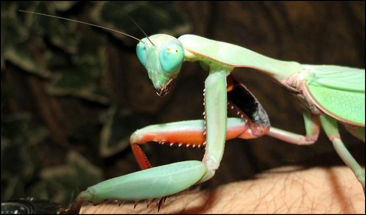 Stunning colours of Australian King Mantis